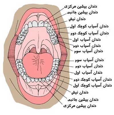دندان های دائمی